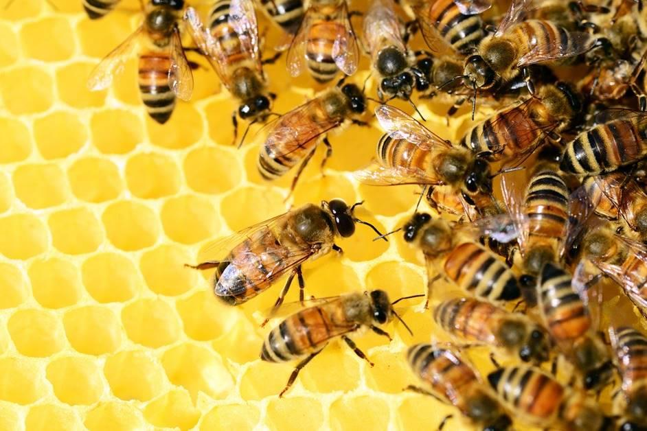 Bienen auf der Honigwabe